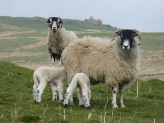 Sheep Weardale Show Competition Winner